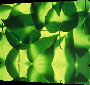 Vign_feuilles